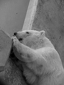 Polar Bear Royalty Free Stock Image - Image: 8339236