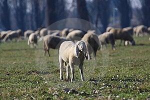 Sheep Royalty Free Stock Photos - Image: 8339848
