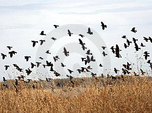 A Flock Of Yellow-Headed Blackbirds Stock Images - Image: 8343134
