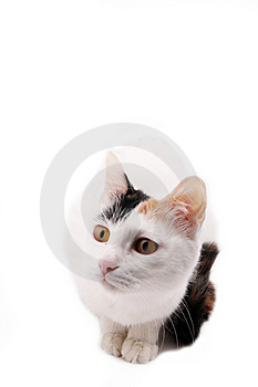 Cute Cat. Royalty Free Stock Image - Image: 8343286