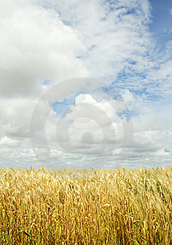 Wheat Field Over The Sky Background Royalty Free Stock Photo - Image: 8349865