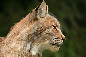 European Lynx Stock Photography - Image: 8353192