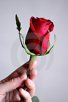 Hand Holding Beautiful Red Rose Royalty Free Stock Photo - Image: 8353775