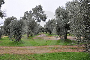 Olive Trees Royalty Free Stock Images - Image: 8354579