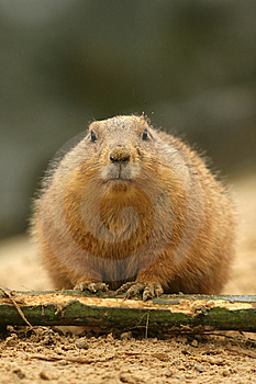 Prairie Dog Looking At You Royalty Free Stock Image - Image: 8355146