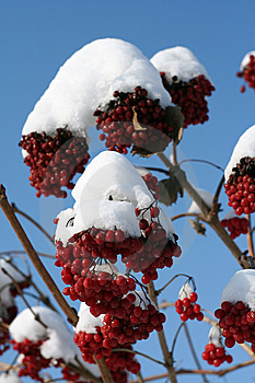 Branch Of The Viburnum In Snow Stock Image - Image: 8355641