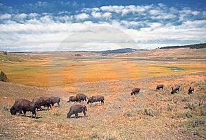 Roaming Buffalo Royalty Free Stock Photography - Image: 8357197