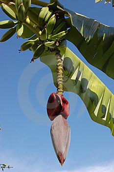 Banana Tree Stock Photos - Image: 8358413