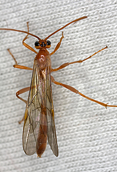 Ichneumon Wasp Royalty Free Stock Photos - Image: 8360558