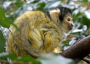 Common Squirrel Monkey 7 Royalty Free Stock Photography - Image: 8362417