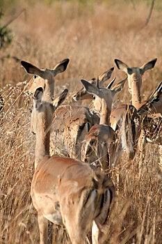 Impala Family Royalty Free Stock Photography - Image: 8364037