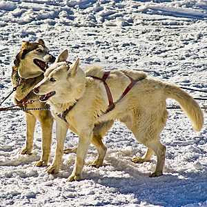 Husky Snow Dogs Stock Image - Image: 8369811