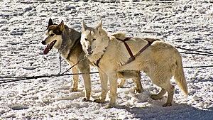 Husky Snow Dogs Royalty Free Stock Image - Image: 8369856