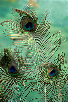 Peacock Feathers Royalty Free Stock Photo - Image: 8369905
