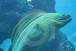 Ocean Moray Eel a tropical fish feedling Stock Images