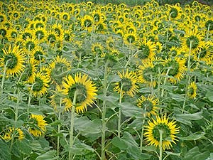 Sunflowers Field Royalty Free Stock Image - Image: 8372316