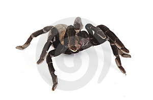 Tarantula Stock Photos - Image: 8374313