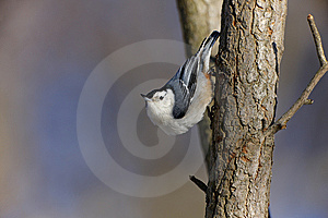 White-breasted Nuthatch On Tree Royalty Free Stock Photo - Image: 8375905