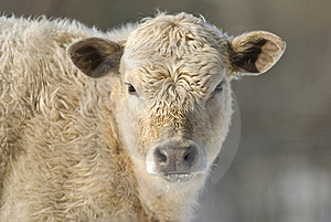 Young Cow Stock Photography - Image: 8380702