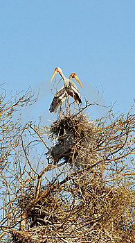 Painted Storks Royalty Free Stock Images - Image: 8381009