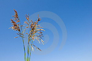 Grass Ear Royalty Free Stock Image - Image: 8381766