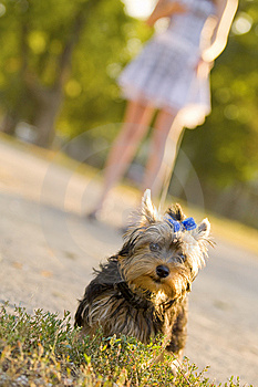 Woman With Tiny Terrier Royalty Free Stock Images - Image: 8382599