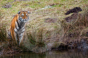 Siberian Tiger Cub Stock Images - Image: 8383574