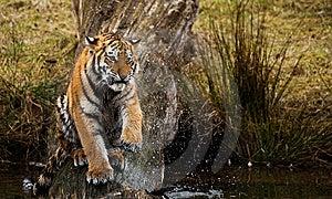 Siberian Tiger Cub Royalty Free Stock Image - Image: 8383586
