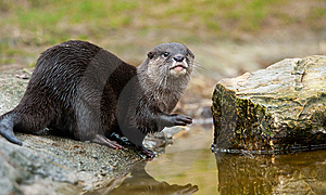 Oriental Small-clawed Otter Stock Image - Image: 8383611