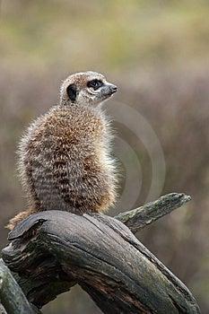 Meerkat (Suricata Suricatta) Royalty Free Stock Photos - Image: 8383688