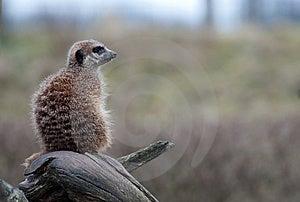 Meerkat (Suricata Suricatta) Royalty Free Stock Images - Image: 8383689