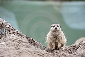 Meerkat (Suricata Suricatta) Royalty Free Stock Image - Image: 8383696