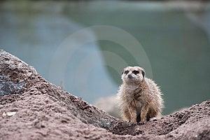 Meerkat (Suricata Suricatta) Royalty Free Stock Images - Image: 8383699