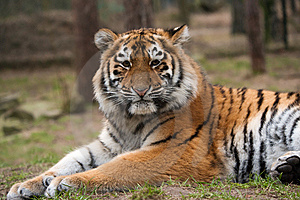 Siberian Tiger Cub Stock Photos - Image: 8383743