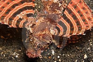 Zebra Lionfish Stock Photography - Image: 8383752