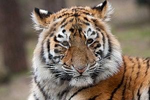 Siberian Tiger Cub Stock Photos - Image: 8383753