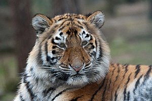 Siberian Tiger Cub Royalty Free Stock Photos - Image: 8383758