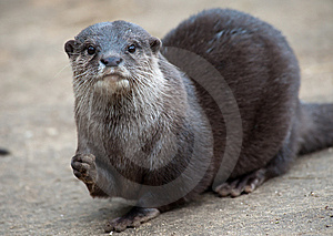 Oriental Small-clawed Otter Royalty Free Stock Images - Image: 8383769