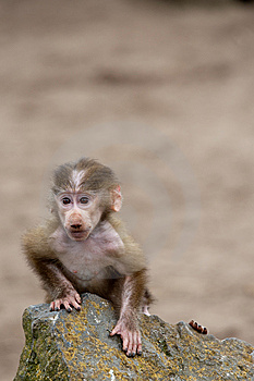 Cute Baby Hamadryas Baboon Stock Photography - Image: 8383792