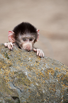 Cute Baby Hamadryas Baboon Stock Photos - Image: 8383793