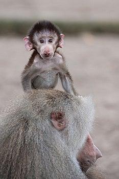 Cute Baby Hamadryas Baboon Royalty Free Stock Image - Image: 8383816