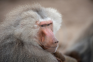 Adult Male Hamadryas Baboon Stock Photography - Image: 8383822