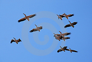 Pelicans Soaring Royalty Free Stock Images - Image: 8383999
