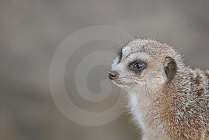 Meerkat Portrait Stock Photography - Image: 8384332