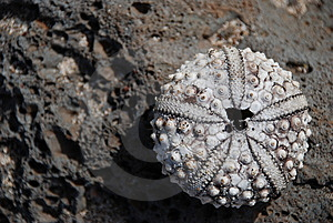 Dried Sea Urchin, Maui Royalty Free Stock Images - Image: 8389359