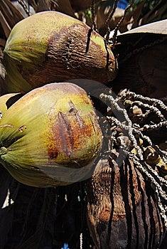 Kokosnüsse Stockfotos - Bild: 8398843
