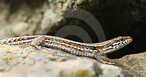 Lizard Royalty Free Stock Photos - Image: 8399548