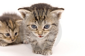 Kittens on white background (background kitten soft) Royalty Free Stock Photo