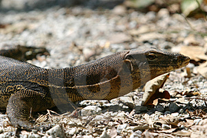 Monitor Lizard Royalty Free Stock Image - Image: 846706