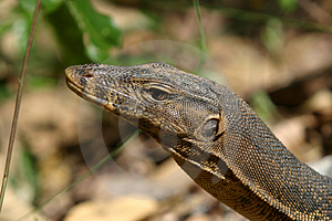 Monitor Lizard Stock Images - Image: 846714
